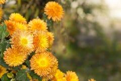 Bush of small orange chrysanthemums in the autumn garden royalty free stock image