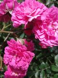 Small roses sammer nature. Bush with small pink roses Stock Image