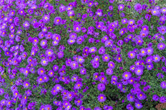 Bush small purple chrysanthemums Stock Images