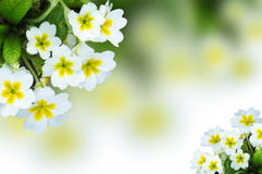 Bush small white primrose flowers Stock Photos