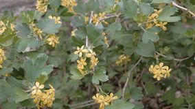 Bush with small yellow flowers blooming in springtime footage stock video footage