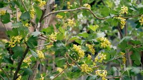 Bush with small yellow flowers in springtime footage stock footage