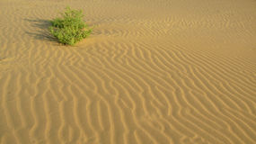 A bush at smooth surface of the sand with waves in the desert royalty free stock images