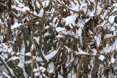 Bush in the snow Royalty Free Stock Images