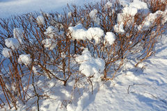 Bush with snow cap Stock Photos