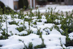 Bush in snow Royalty Free Stock Images