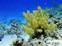 Bush of soft coral Royalty Free Stock Photos