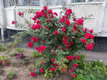 Bush som blommar lösa rosor Royaltyfri Foto