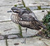 Bush stena-curlew Fotografering för Bildbyråer