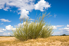 Bush in steppe Royalty Free Stock Image