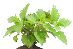 Bush of a stinging European nettle Stock Photo