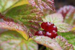 The bush of stone bramble berries. Rubus saxatilis Stock Photography