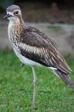Bush Stone Curlew Royalty Free Stock Photo