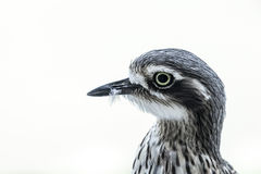 Bush stone Curlew Royalty Free Stock Image