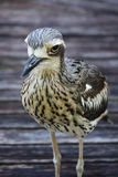 Bush Stone Curlew Bird Species Stock Image
