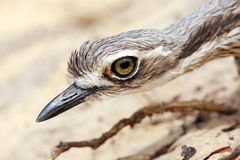 Bush Stone-Curlew Royalty Free Stock Photography