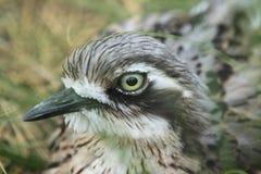Bush stone-curlew Stock Image