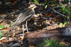 Bush Stone-curlew Stock Photography
