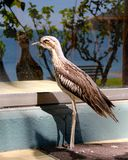 A Bush Stone Curlew mirrors in window Royalty Free Stock Photos