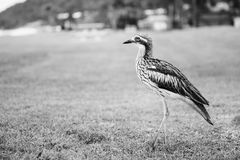 Bush stone-curlew resting on the beach. Royalty Free Stock Photo