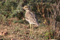 Bush stone-curlew Stock Photo