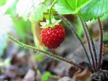 Strawberries with droplets of dew royalty free stock images