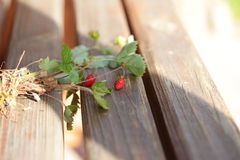 Bush with strawberries on stems. Wood background Royalty Free Stock Photo