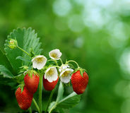 Bush of strawberry. Green bush of red strawberry Royalty Free Stock Image