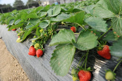 Bush of strawberry Stock Images