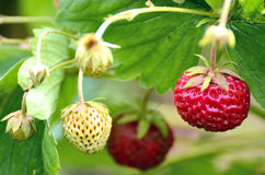Bush of strawberry Stock Photography
