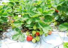 Bush of strawberry Royalty Free Stock Photography