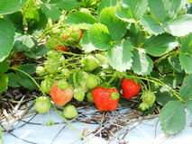 Bush of strawberry Royalty Free Stock Photos