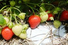 Bush of strawberry Stock Images