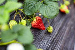 Bush of strawberry Royalty Free Stock Photos