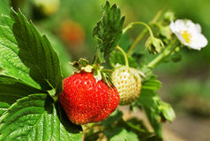 Bush of strawberry. Royalty Free Stock Photo