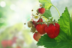 Bush of strawberry Stock Image