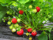 Bush of strawberry with red berrie. Bush of strawberry with red and green berries royalty free stock photos