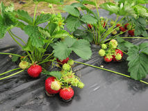 Bush of strawberry with red and green berries. Stock Photography