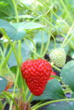 Bush of strawberry Royalty Free Stock Photo