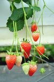 Bush of strawberry Royalty Free Stock Images