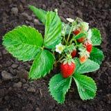 Bush of strawberry stock photos