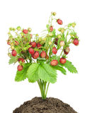Bush of  strawberry  in soil isolated Stock Image