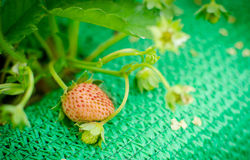 Bush of strawberry Stock Image