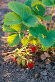 Bush of strawberry in sunlight Stock Images