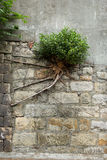 Bush with strong roots growing at a wall Stock Image