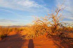 Bush in sunset light in red sand desert. Red sand desert with dry dead and green bush in sunset light, clear blue sky with some clouds. Beautiful scenery Stock Photography