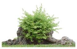 Bush sur le tronc d'arbre d'isolement avec le chemin de coupure Photos libres de droits