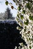 Bush täckte i Snow Arkivfoton