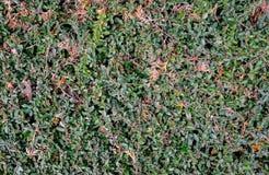 Bush Texture Royalty Free Stock Image