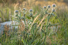 Bush thistles among the grass, shot in the backlit sunlight Royalty Free Stock Photo